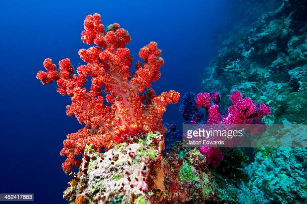 A branching orange and purple Tree Coral perched on a shelf on a reef.
