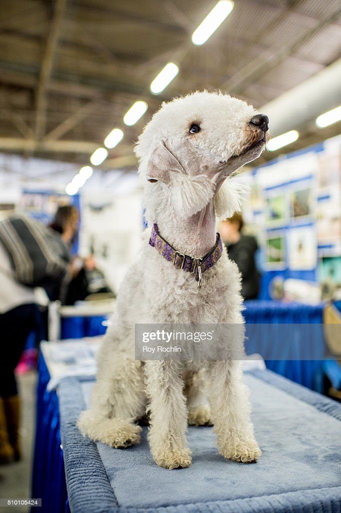 Brandon the Bedlington Terrier attends 7th Annual AKC Meet The Breeds ...