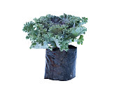 Brassica oleracea viridis vegetable in bag on white background and clipping path