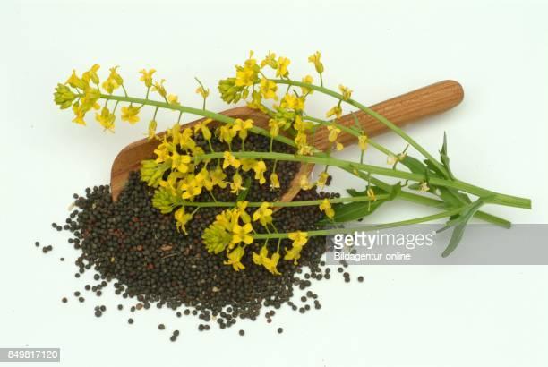 Brassica Rapa Field Mustard Bird Rape Keblock and Colza or Rape Seed Food Medicinal Plant Crop Plant
