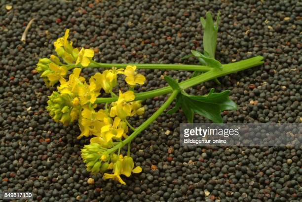 Brassica Rapa Field Mustard Bird Rape Keblock and Colza or Rape Seed Food Medicinal Plant Crop Plant