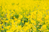 It is a rape flower field in full bloom. Beautiful and vivid yellow flowers are blooming.