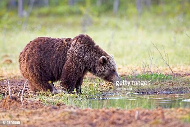 Braunbaer   Ursus arctos Weibchen beim Wasser trinken Finnland