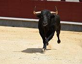 spanish brave bull in bullring