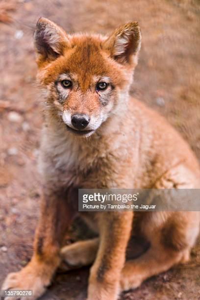 Brave wolf pup sitting