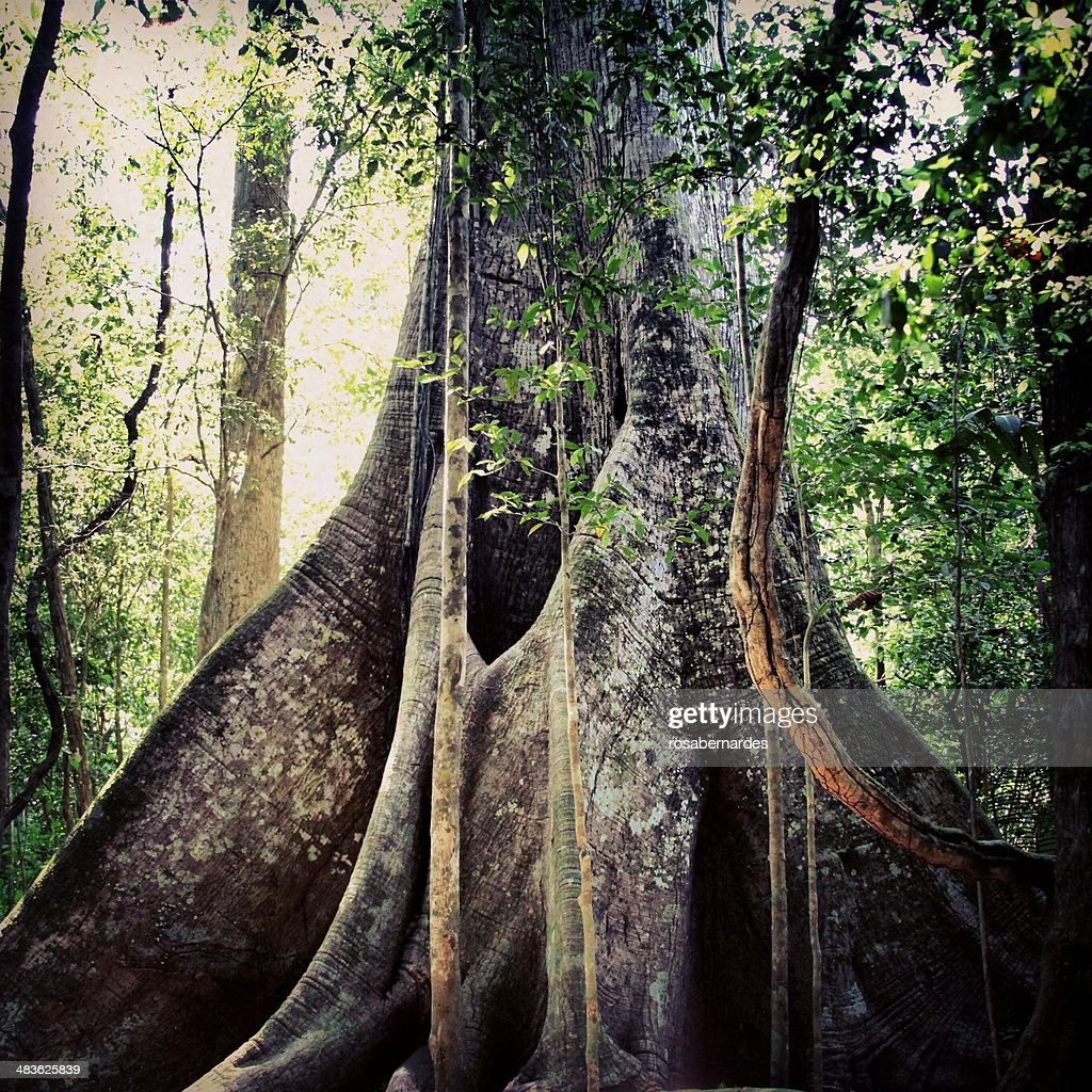 Brazil, Amazon region, Biggest tree of Amazon