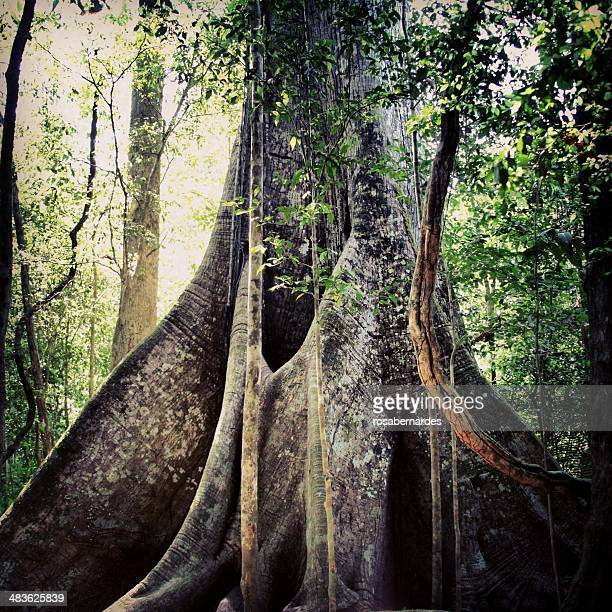 Brazil, Amazon region, Biggest tree of Amazon