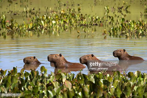 Brazil, Goias, Silvana, capybaras in lake