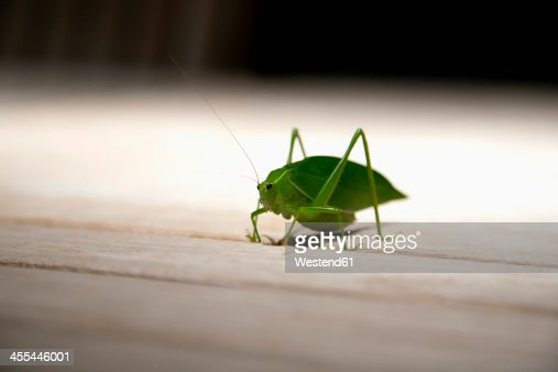Brazil, Grasshopper on wooden table, close up : Stock Photo