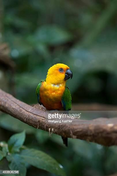 Brazil Iguassu Jandaya Parakeet Aratinga jandaya