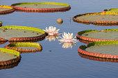 Brazil, Mato Grosso do Sul, Pantanal, Giant water lilies