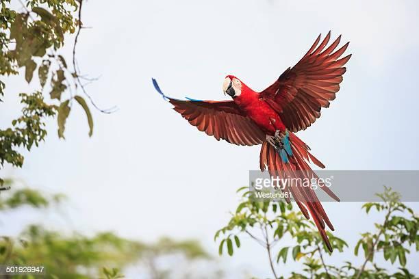 Brazil, Mato Grosso, Mato Grosso do Sul, Bonito, Buraco of Araras, flying scarlet macaw