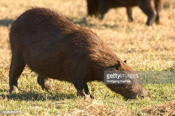 Brazil Mato Grosso Pantanal Refugio Ecologico Caiman Capybara Hydrochoerus hydrochaeris Rodent