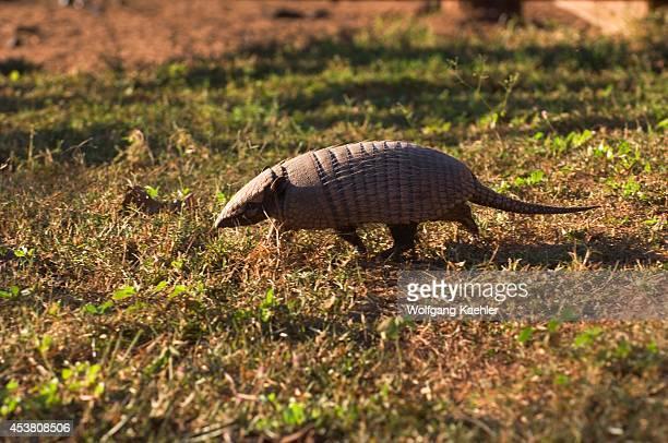 Brazil Mato Grosso Pantanal Refugio Ecologico Caiman Ninebanded Armadillo Dasypus novemcinctus