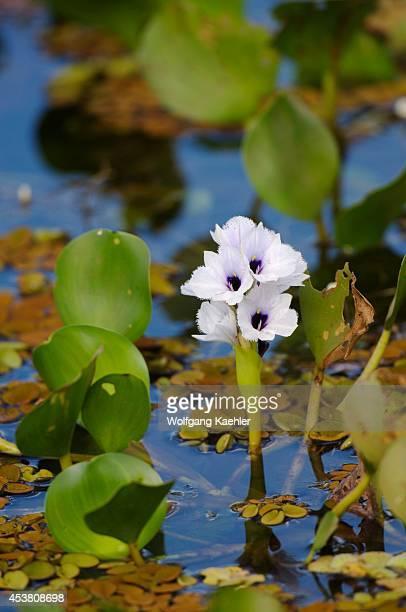 Brazil Mato Grosso Pantanal Refugio Ecologico Caiman Water Hyacinth Flower