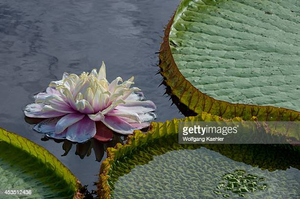 Brazil Northern Pantanal Victoria Amazonica Giant Water Lily Flower Closeup