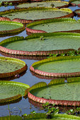 Brazil Northern Pantanal Victoria Amazonica Giant Water Lily Leaves