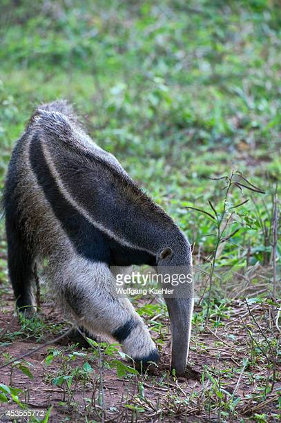 Brazil Southern Pantanal Caiman Ranch Giant Anteater Endangered Species