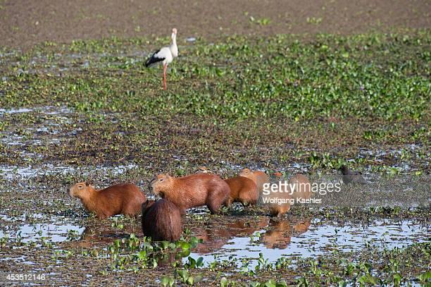 Brazil Southern Pantanal San Francisco Ranch Capybaras In Swamp