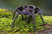 Brazilian Black Velvet Tarantula on mossy log