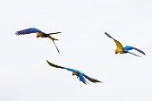 Brazilian Caninde Macaw flying- Mato Grosso State - Brazil