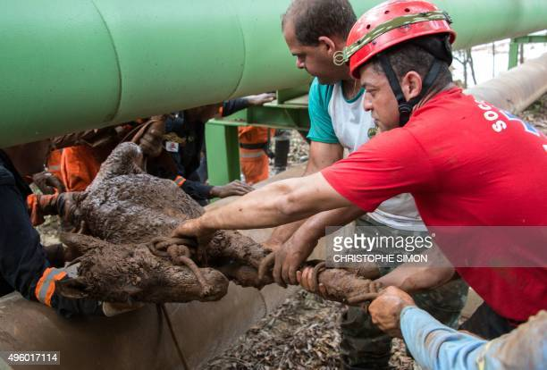 Brazilian firemen rescue a foal which was trapped in the mud after a dam burst in the village of Bento Rodrigues in Mariana Minas Gerais state Brazil...