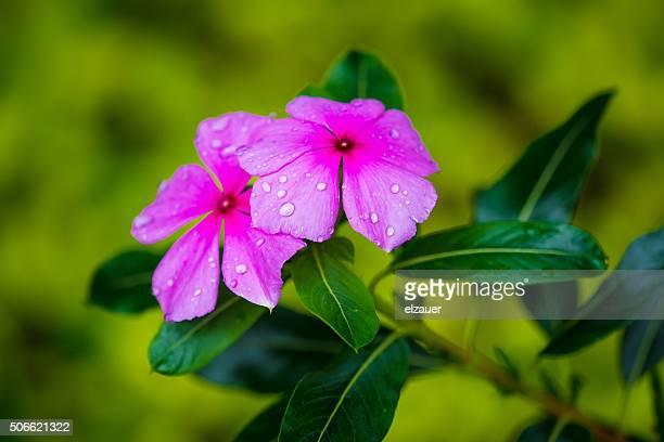 brazilian flowers