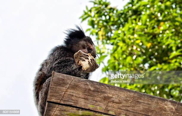 Brazilian marmoset is eating on wooden's trunk edge