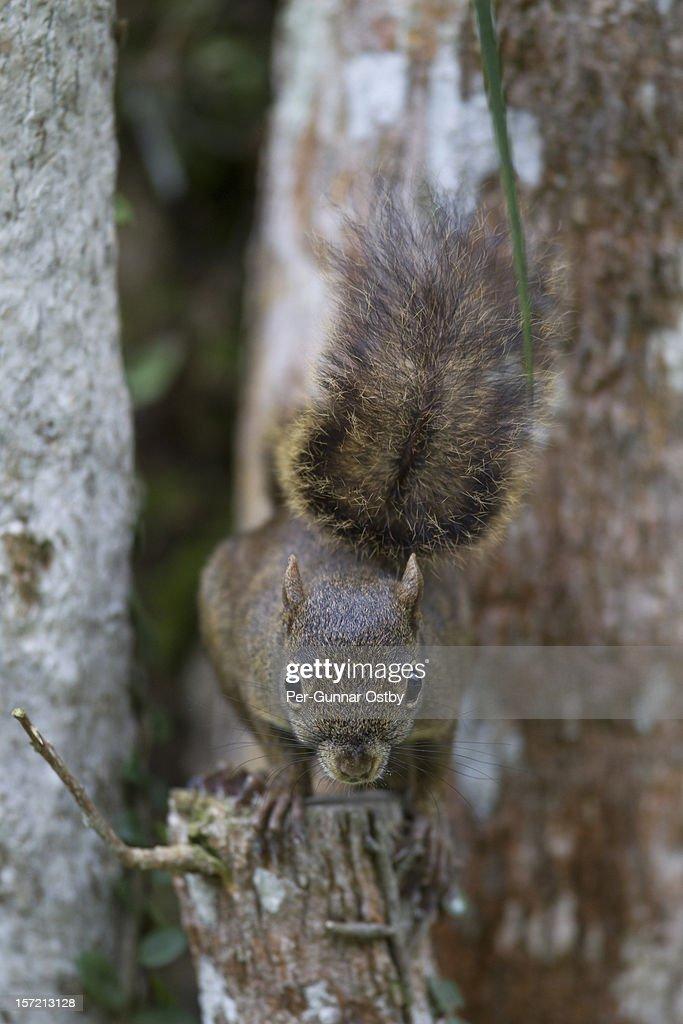 Brazilian Squirrel posing : Stock Photo