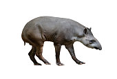 brazilian tapir isolated on white background