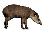 Brazilian tapir, Tapirus terrestris, on land in Brazil