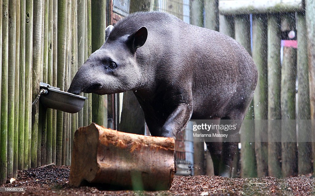 Brazilian Tapir Tique has a drink of cold water at Taronga Zoo on January 8, 2013 in Sydney, Australia. Temperatures are expected to reach as high as 43 degrees around Sydney today.