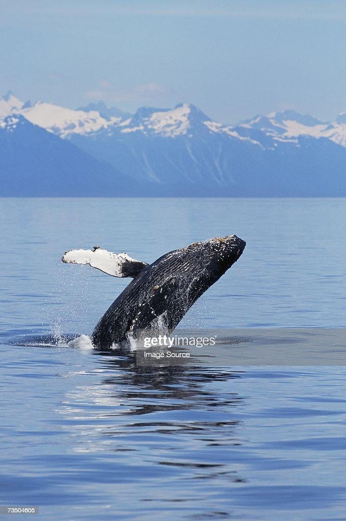 A breaching humpback whale in alaska