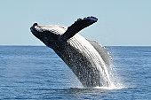 Breaching humpback whale megaptera novaeangliae