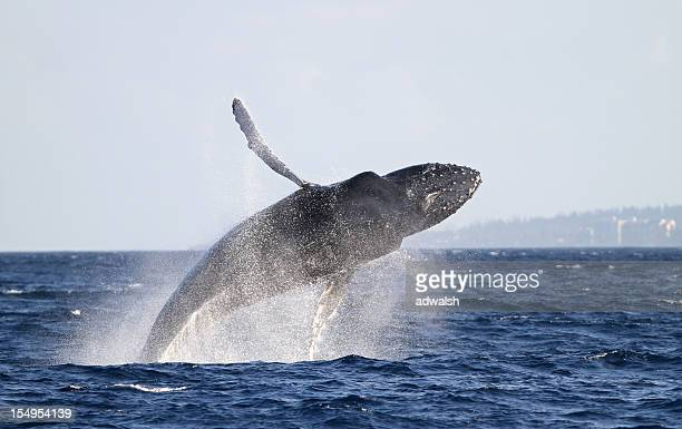 マウイのザトウクジラがブリーチング
