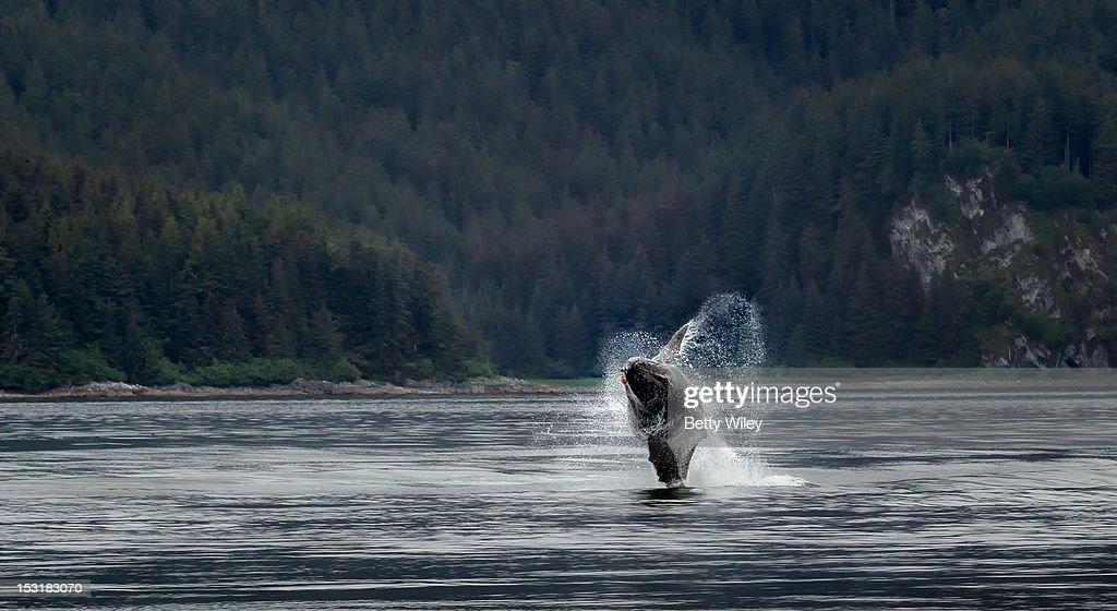 Breaching humpback whale : Stock Photo