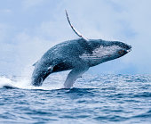 A Humpback Whale (Megaptera novaeangliae) breaching the surface of the waters off Puerto Lopez, Ecuador.