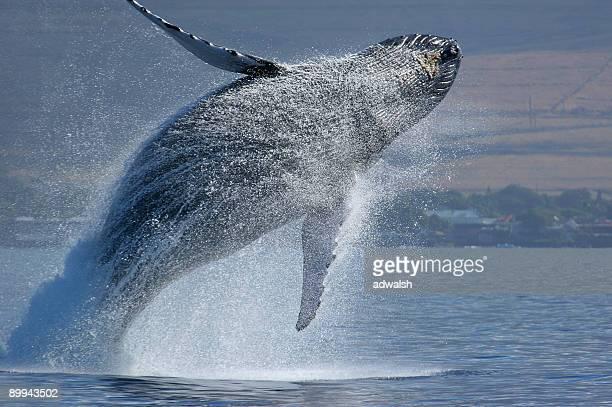 ブリーチングハンプバッククジラ
