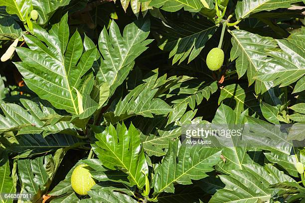 Breadfruit leaves and fruit in Hawaii
