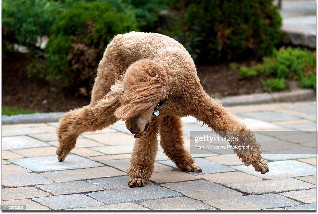 Standard poodle doing break dancing move.