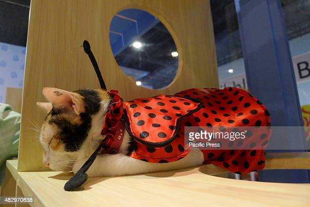 A breed of persian cat with a polka dot costume sleeping on a wooden shelf at the trade fair Different breeds of dogs and cats Dog breeders Pet...