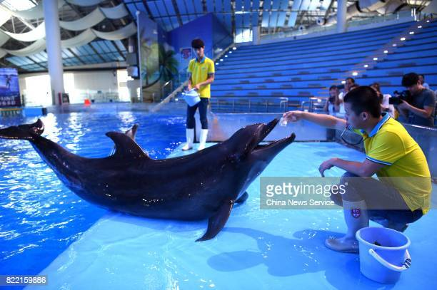 A breeder feeds a dolphin squid jelly at Hefei Aquarium on July 25 2017 in Hefei Anhui Province of China Breeders work at Hefei Aquarium prepare...