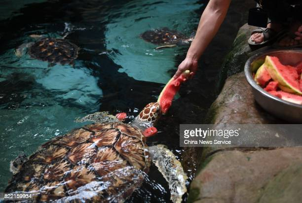 A breeder feeds a sea turtle watermelons at Hefei Aquarium on July 25 2017 in Hefei Anhui Province of China Breeders work at Hefei Aquarium prepare...