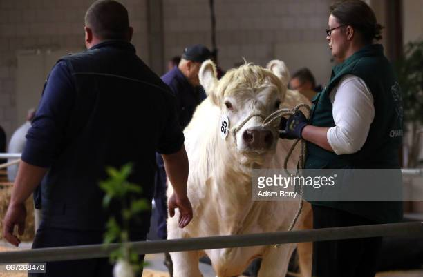 A breeder presents a heifer for sale at an annual heifer auction on April 11 2017 in Gross Kreutz Germany Around 80 Angus Charolais Hereford...