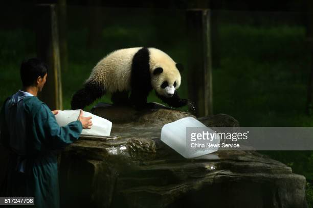 A breeder provides ice blocks for a giant panda at Yangjiaping Zoo on July 18 2017 in Chongqing China Yangjiaping Zoo provided huge ice blocks for...