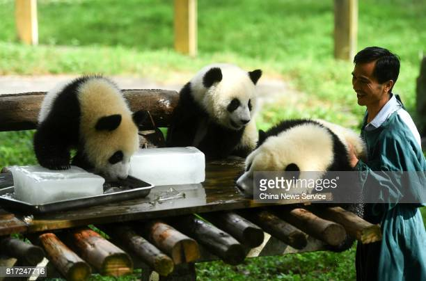 A breeder provides ice blocks for giant pandas at Yangjiaping Zoo on July 18 2017 in Chongqing China Yangjiaping Zoo provided huge ice blocks for...