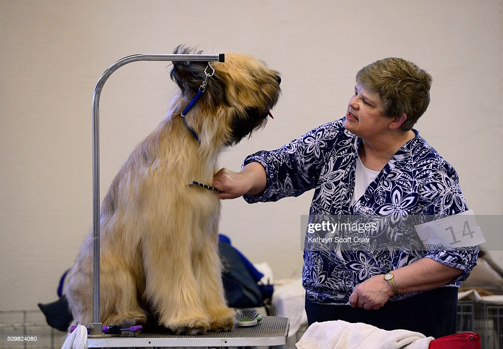 Breeder/owner Nancy Scott of Littleton carefully combs her 9-month-old Briard named 'Hayley' preparing to show in the puppy class. The Rocky Mountain Cluster All Breed Dog Show takes place at the National Western Complex in Denver on Friday, Feb. 12, 2016 and continues through Sunday, Feb 15th.