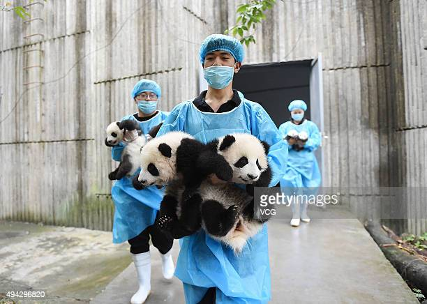 Breeders carry baby giant pandas during the opening ceremony of 2016 panda kindergarten at Chengdu Research Base of Giant Panda Breeding on October...