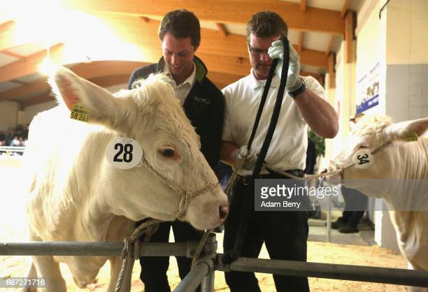Breeders prepare to present heifers during an annual heifer auction on April 11 2017 in Gross Kreutz Germany Around 80 Angus Charolais Hereford...