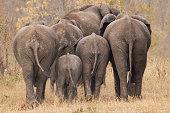Breeding herd of rear end elephant walking away int the trees